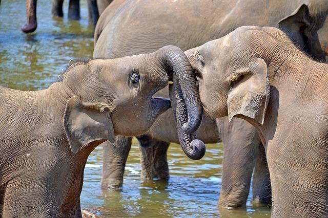mladí sloni