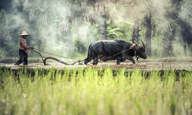 buvol a zemědělec